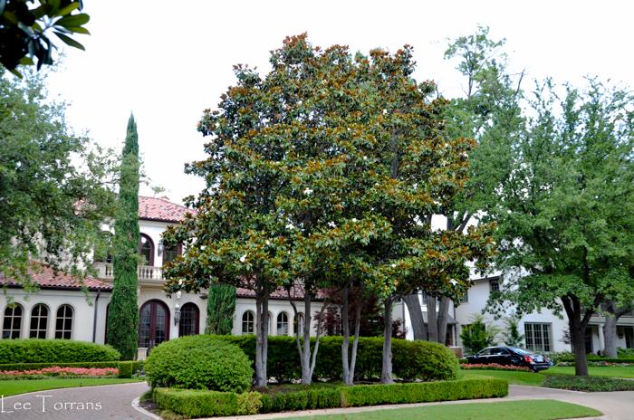 DD Bradberry Magnolia with golden underleaves.