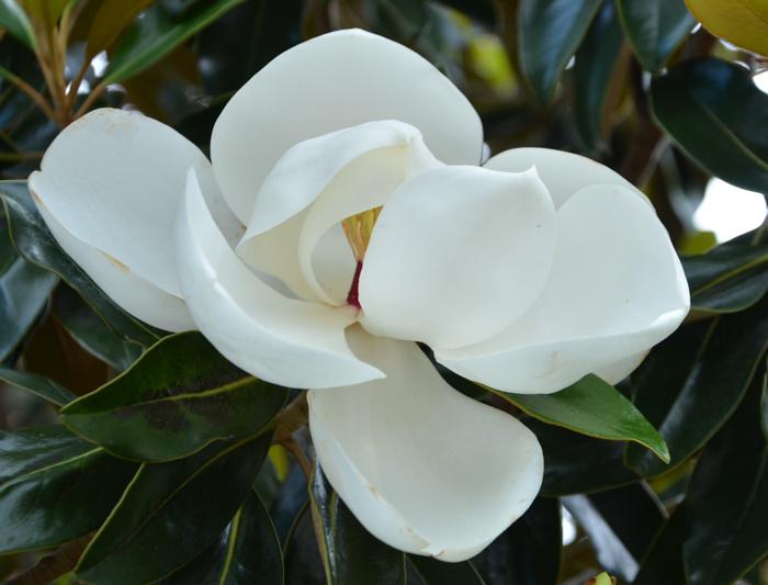 DD_Blanchard_Magnolia_Tree_Plano_Landscaping_Lee_Ann_Torrans-3
