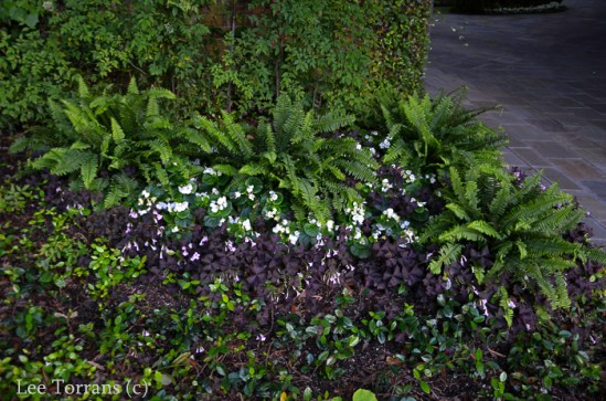 Wood Ferns and Purple Shamrock