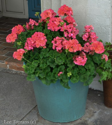 Top ten texas container and annual gardening ideas lee ann torrans geraniums are great spring flowers for texas one of the best but after the fourth of july they stop blooming so consider putting a longer blooming plant mightylinksfo