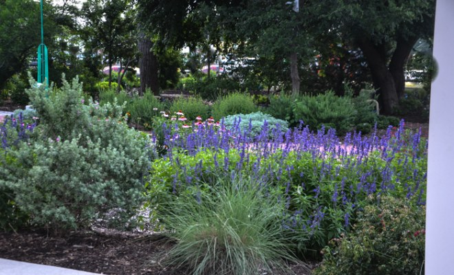 Texas Lilac Vitex Tree June Bloomer in Texas