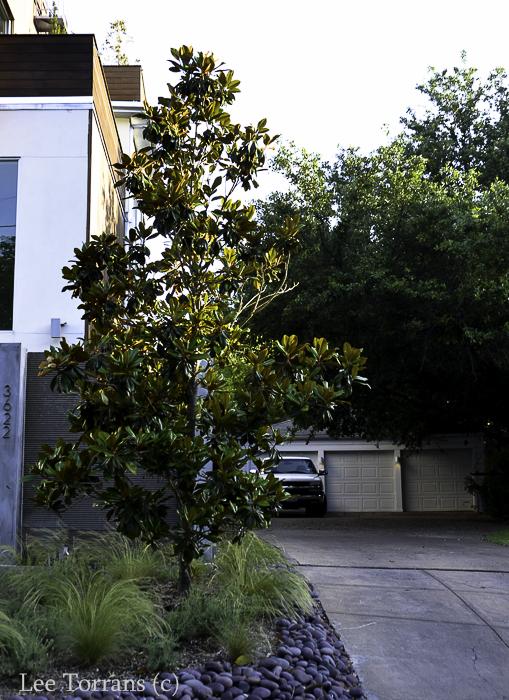 Hedges little gem magnolia lee ann torrans gardening little gem magnolias for that multi million dollar mansion in your future littlegemmagnoliadallastexasleeanntorrans sciox Gallery
