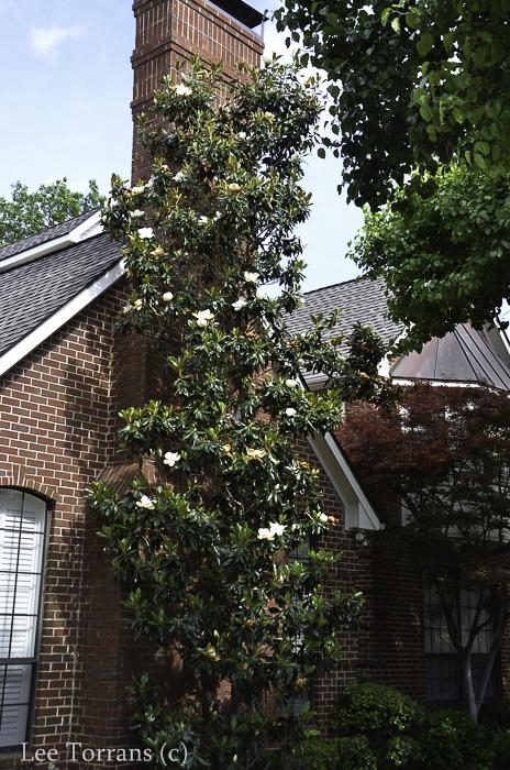Little Gem Japanese Maple Dallas Landscaping Lee Ann Torrans