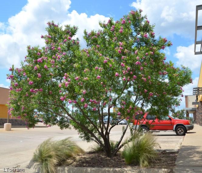 Mesquite_Tree_Texas_Lee_Ann_Torrans-7