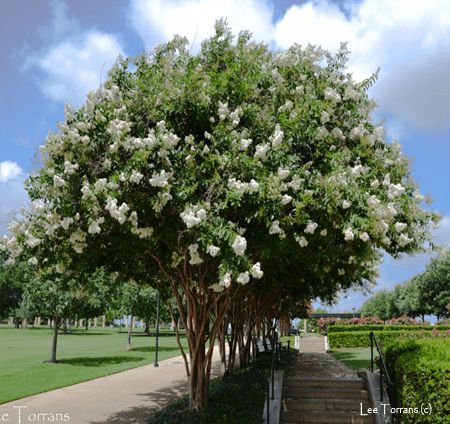 Natchez_White_Crape_Myrtle_Texas_Lee_Ann_Torrans_Dallas_Gardening-Slider