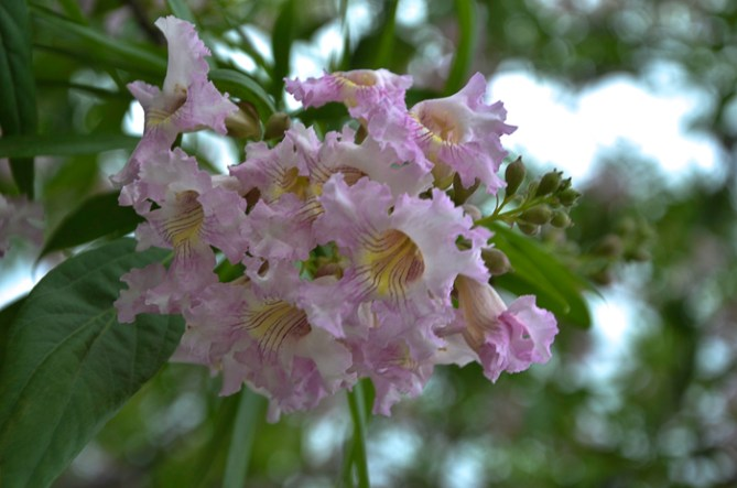 Small_Pink_Flowers_Tree_Texas_Lee_Ann_Torrans-3
