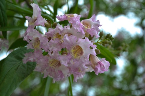 Blooms from Chatalpa Tree