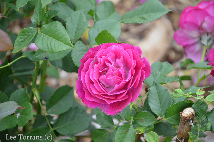 Wild_Blue_Yonder_Grandiflora_Rose_Texas_Lee_Ann_Torrans-2