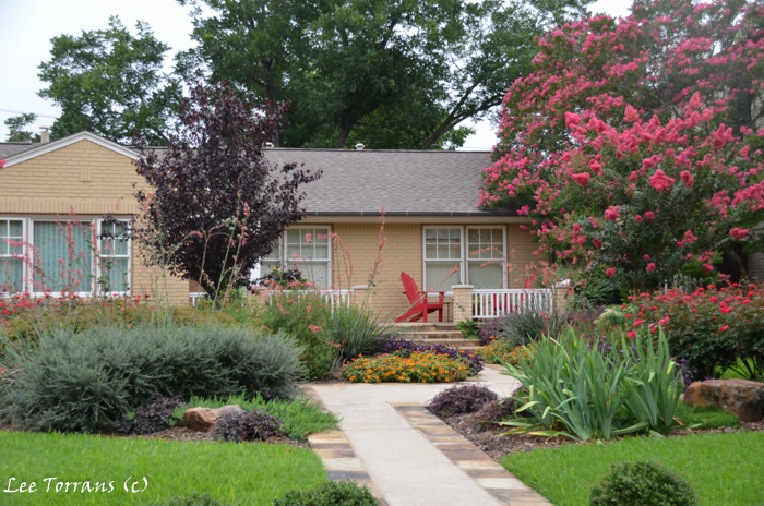 Cotoneaster on the left with a mix of traditional and native Texas plants in Dallas landscaping design.