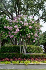 Muskogee Lavender Crape Myrtle that has been cropped / chopped / murdered.