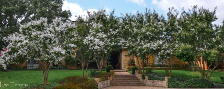 Townhouse White Crape Myrtles