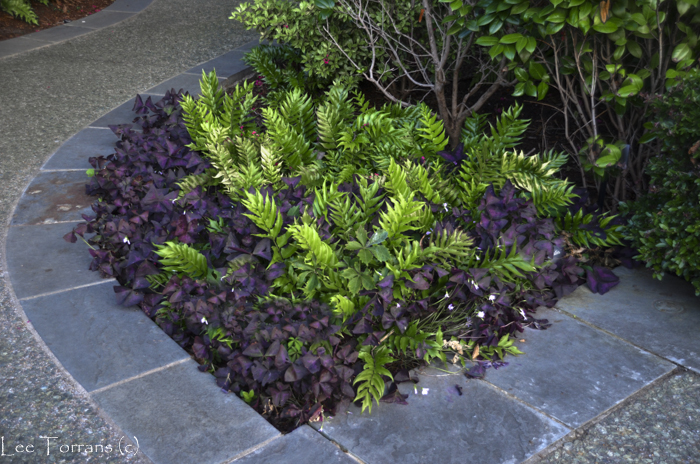 Purple Shamrock and Holly Fern