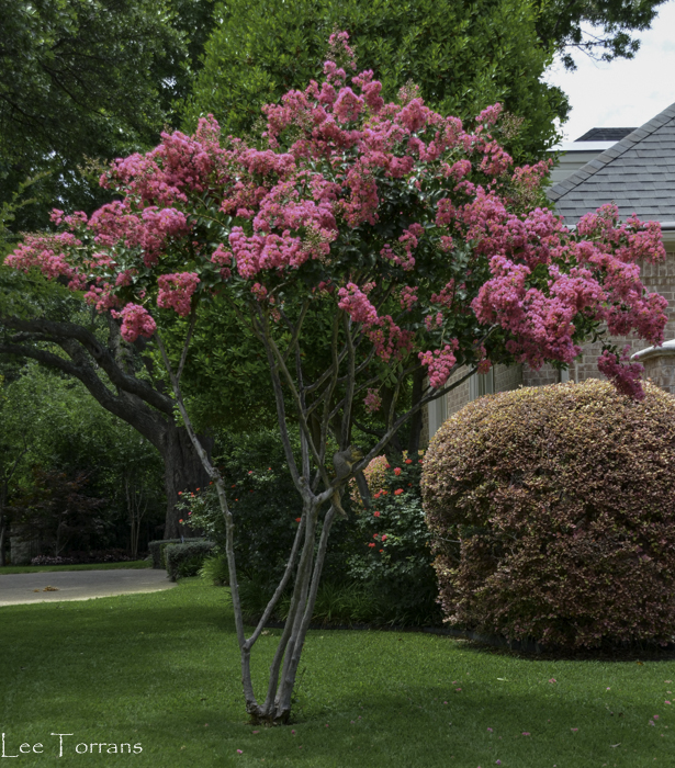 Tonto Crape Myrtle with sheared Barberry in the background.