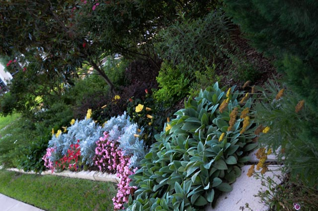 Mix of annuals and perennials including Big Lambs Ear, an Lambs Ear that does not bloom and has exceptionally large leaves.