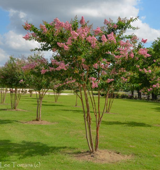Wichita Pink Crape Myrtle