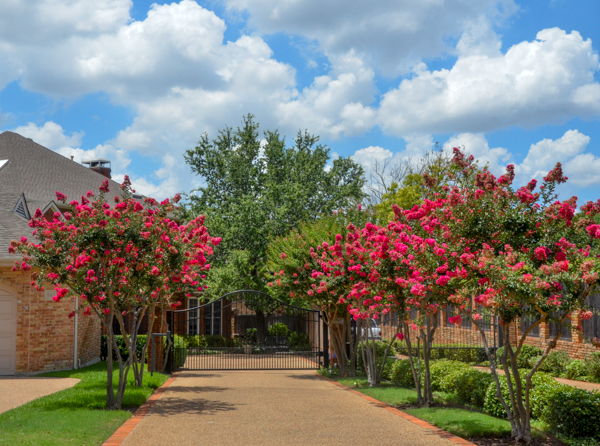 Lovely crape myrtle alley with Arapaho crapes