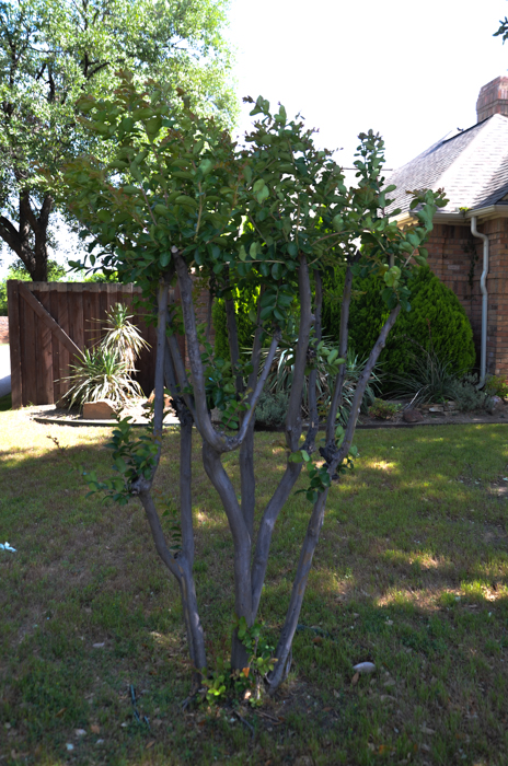 Improper Pruning of a Crape Myrtle also known as: Crape Murder