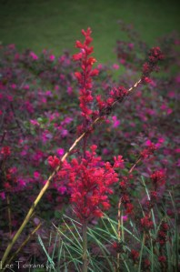 Crimson Yucca