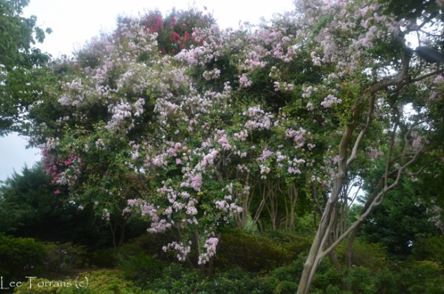 Yuma - Large Pale Pink Crape Myrtle at Dallas Arboertum