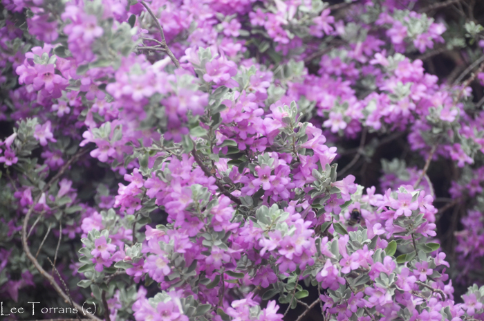 Purple Sage Shrub Texas