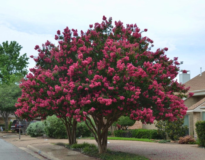Centennial Spirit, the most magnificent Texas crape myrtle