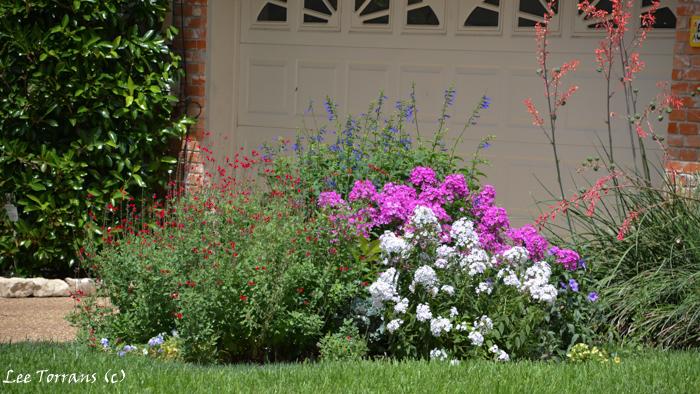 Summer phlox, Salvia Greggii, Mealy Blue Sage.