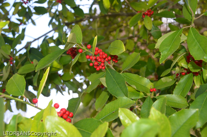 American Holly in Texas Mid-March