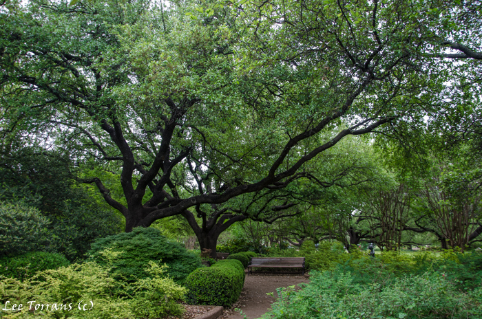 Beautiful Live Oak trees at Fort Worth Botanical Garden.