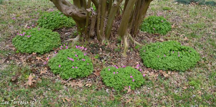 Oxalis Articulata or Pink Wood Sorrel
