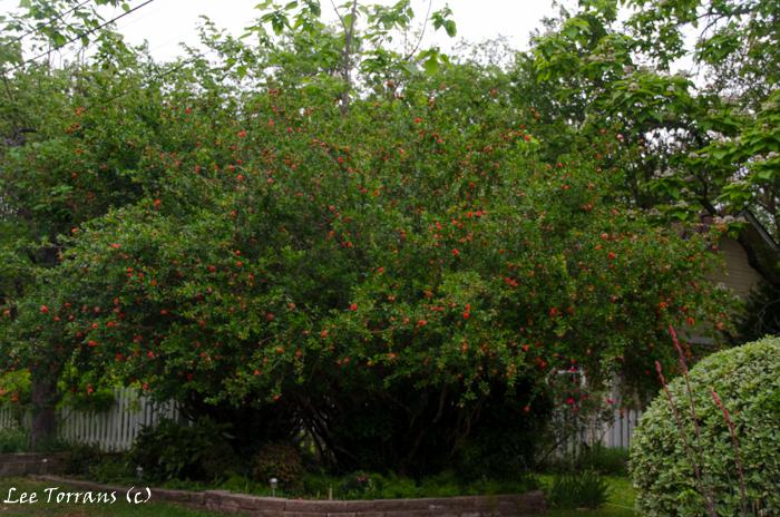 Pomegranate Tree Dallas Landscape Design