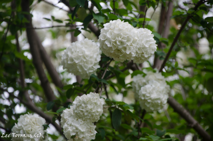 Snowball Viburnum blooming shrub / Tree for Texas