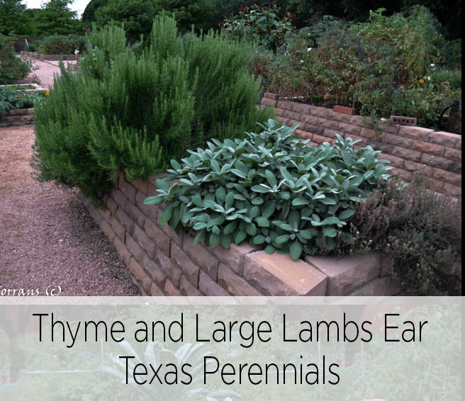 Two Texas Perennials, Thyme and Large Lambs Ear