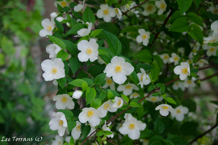Texas-Blooming-Tree-White-Petals-Yellow-Center (1 of 1)