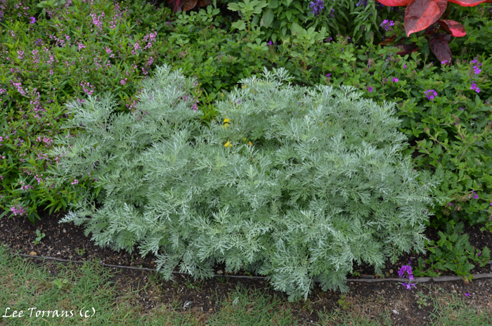 Artemsia also known as wormwood. A light feather gray perennial.