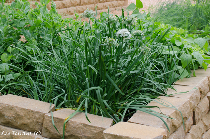 Garlic in April in Raised Bed Gardening Landscape Design in Dallas