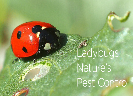 Lady Bugs Nature's Pest Control