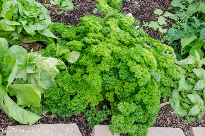 Parsley in April in Raised Bed Gardening Landscape Design in Dallas