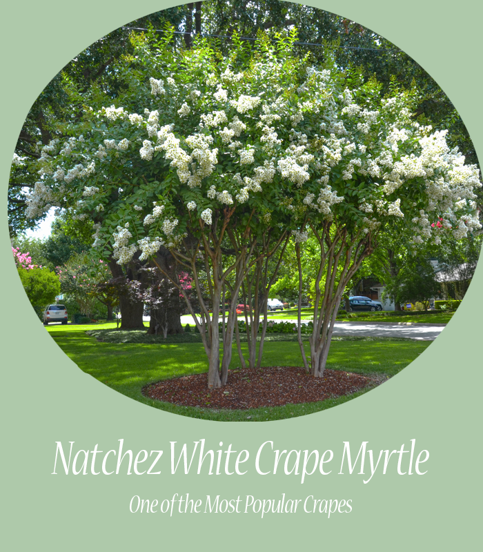 Natchez White Crape Myrtle in Dallas Landscape Design