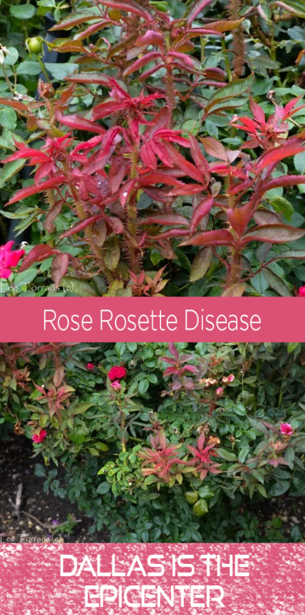 Rose Rosette Disease Dallas Is the Epicenter
