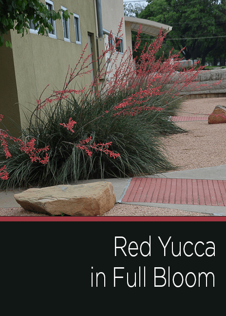 Red Yucca Native Texas Plant in Full Bloom