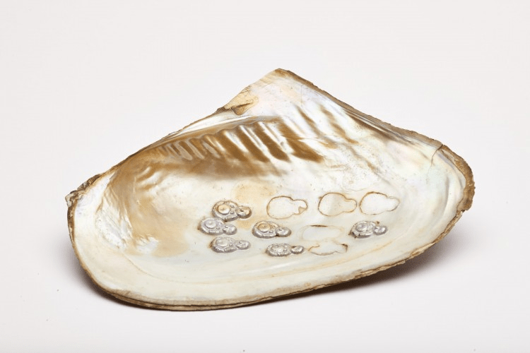 Freshwater oyster used for making pearl Buddhas