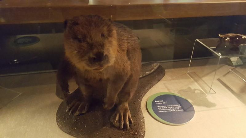 Beaver display