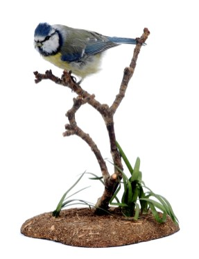 A blue tit from the Leeds Museums and Galleries collection which is being used to help home birdwatchers identify birds in their gardens.