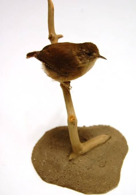 A wren from the Leeds Museums and Galleries collection which is being used to help home birdwatchers identify birds in their gardens