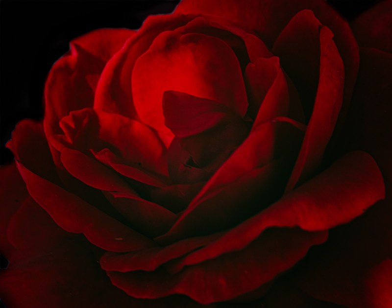 red rose fine art flower photography