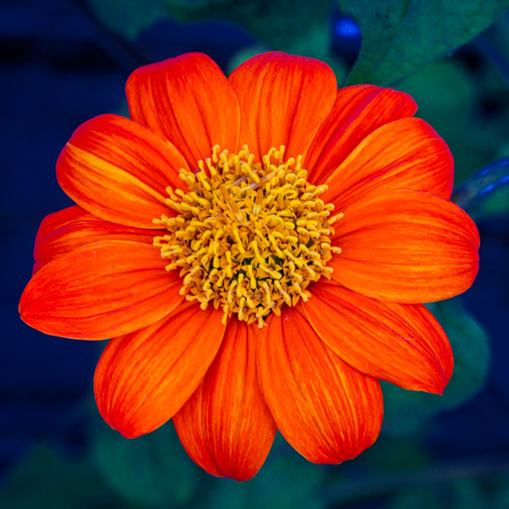 square flower orange art photography print signed limited edition
