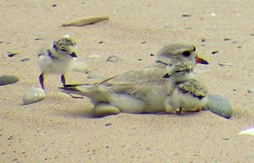 Piping Plovers Return to Glen Haven
