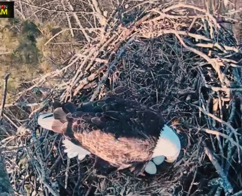 Check out the Platte River Bald Eagle Cam!