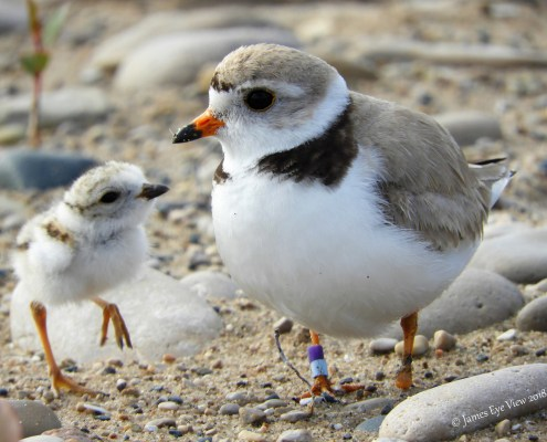 Leelanau Summer Tourist Update: Piping Plovers Return