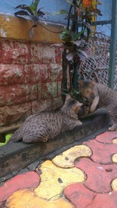 My cats Maumao and Chucklee - BFFs in the true sense :)